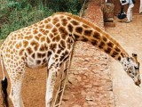 Giraffe Center  - Nairobi